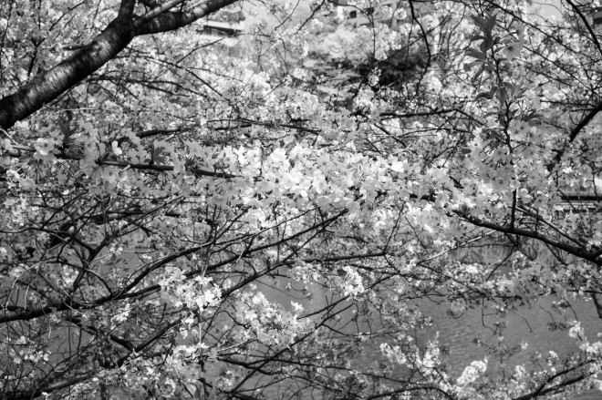 Idabashi Sakura March 2014-1002109