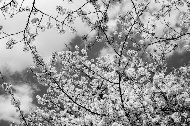 Idabashi Sakura March 2014-1002121